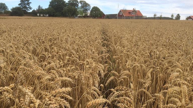 Vetefält som väntar på att skördas.
