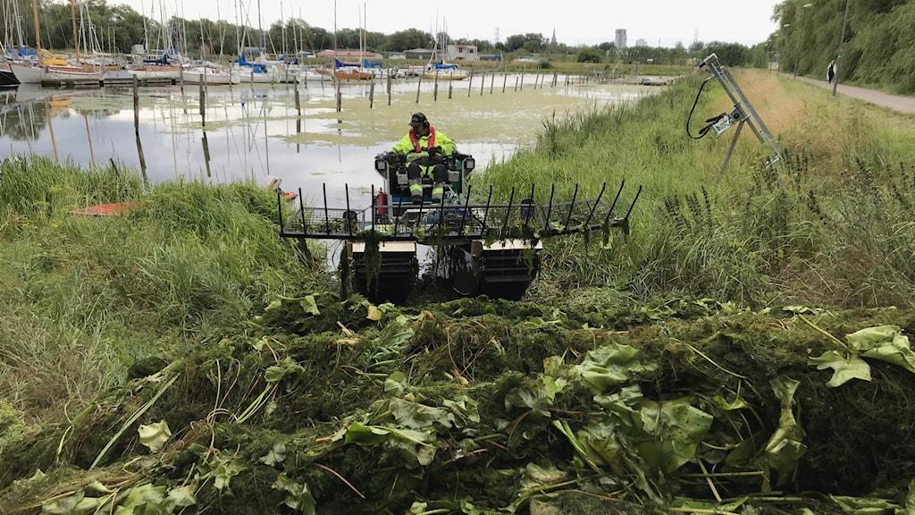 En amfibiegående maskin körs av en man i gul reflexjacka. Man ser även en matta av gröngula vattenväxter i en hamn bland båtar.