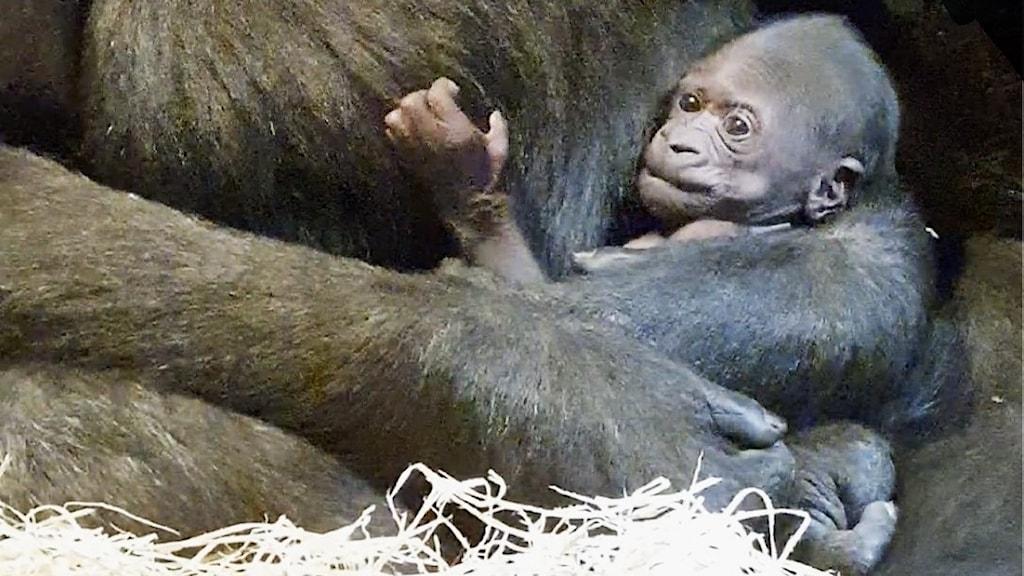 Den nyfödda gorillaungen i mamma Kiburis famn.