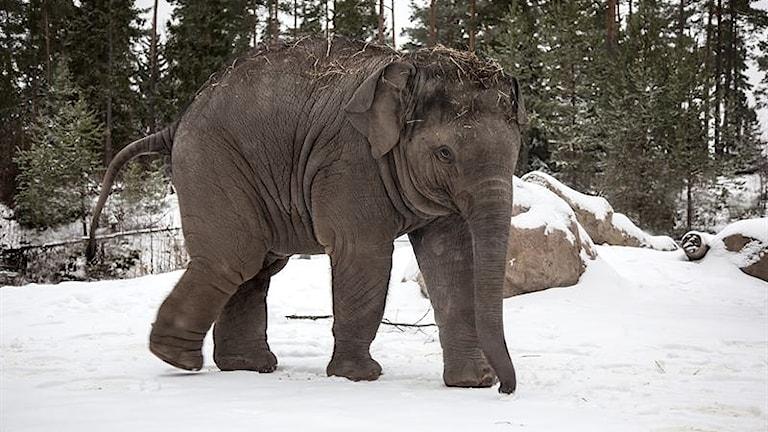 Elefantkalven Namsai.