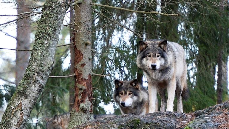 Vargar på Kolmårdens djurpark.