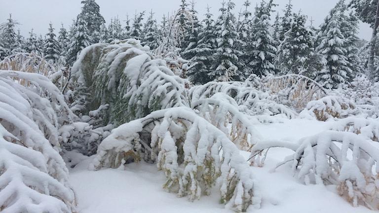 Snöiga träd.