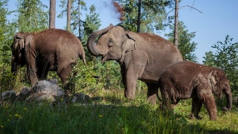 Elefanter på Kolmårdens djurpark.