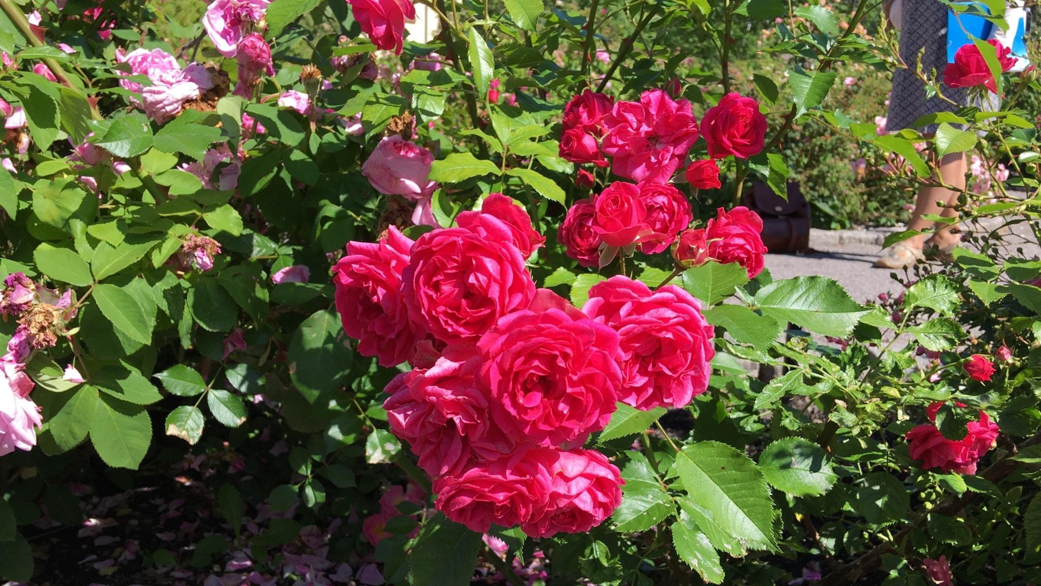 Levyseppä tarjoaa sekä ruusuja että rautalankaa