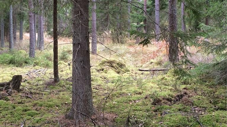 Barrskog med mossa under träden.