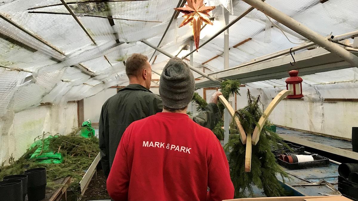 Två män bakifrån i ett växthus av plast. Julstjärna i taket, julbock av trä o gransris under uppbyggnad. Röd ljuslykta hänger också i taket.