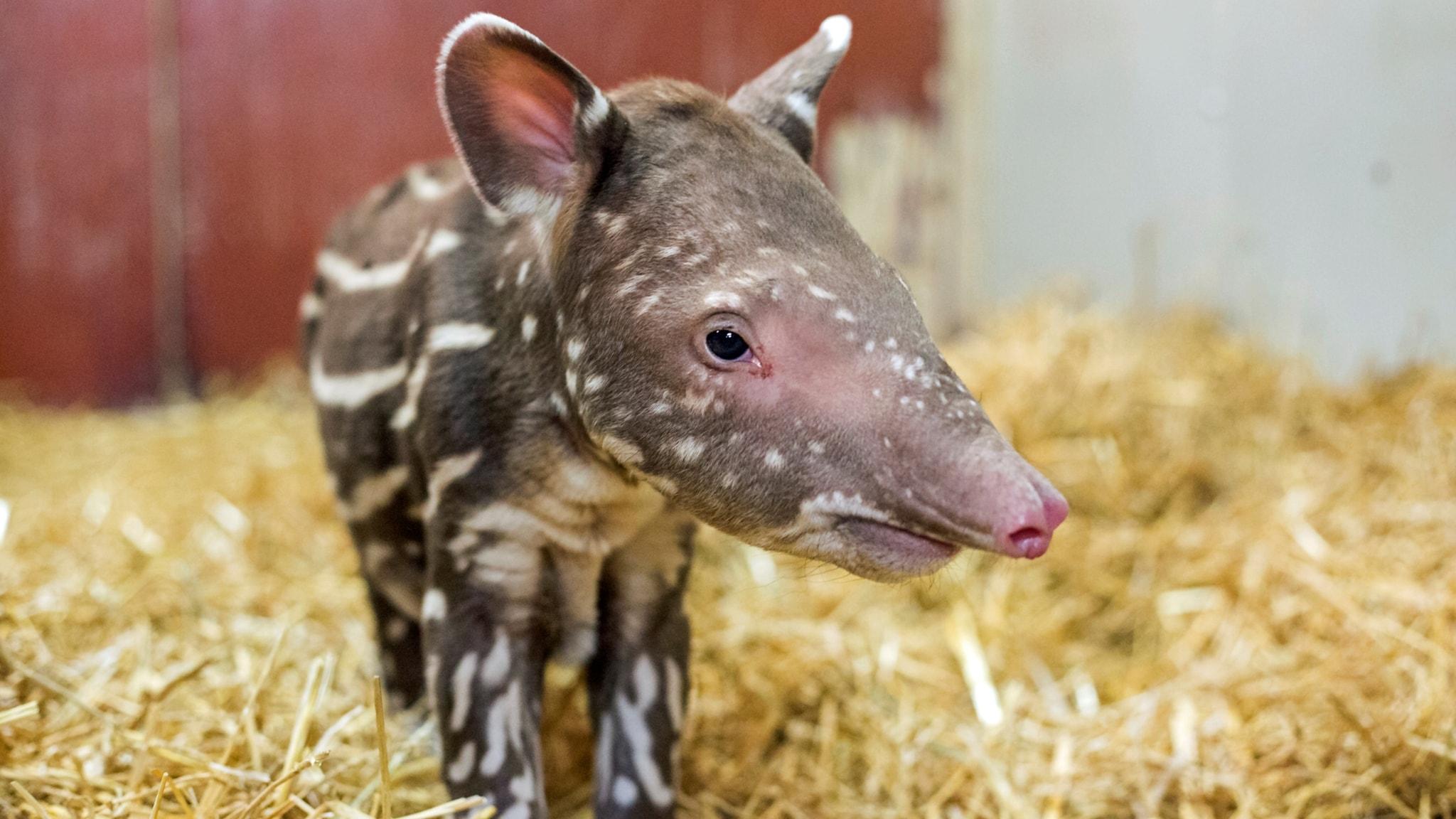 Nyfödd tapir på Kolmården - P4 Östergötland