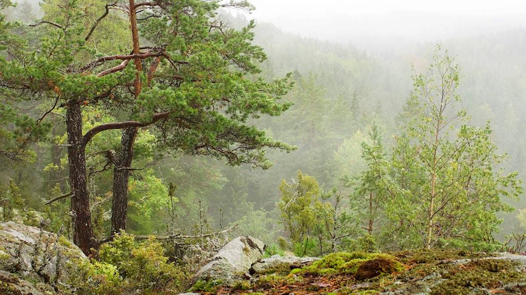 Ett naturreservat med träd, sten, mossa och dimma ovanför skogen.