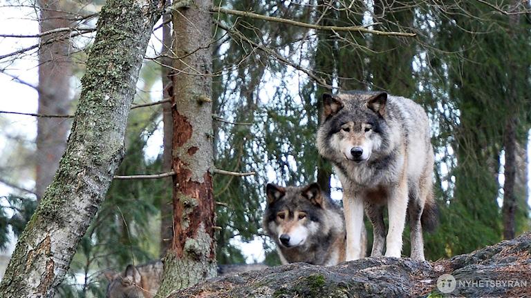 Ännu finns inga tecken på vargvalpar i Finspångsreviret.