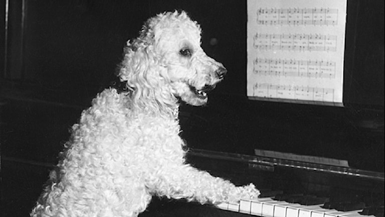 Hund spelar piano. Foto: SVT Bild
