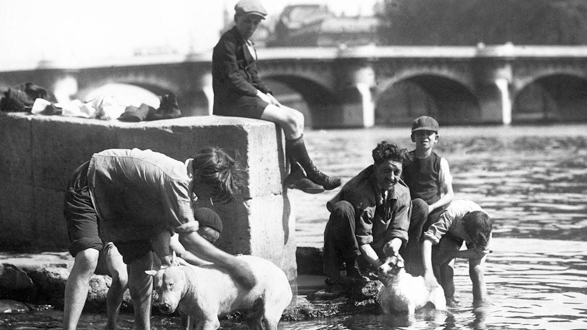 Hundar tvättas i Seine. SVT Bild.