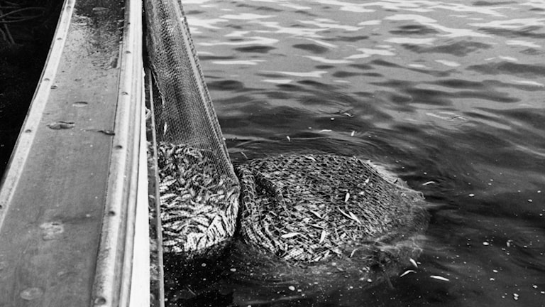 Strömmingsfiske. SVT Bild.
