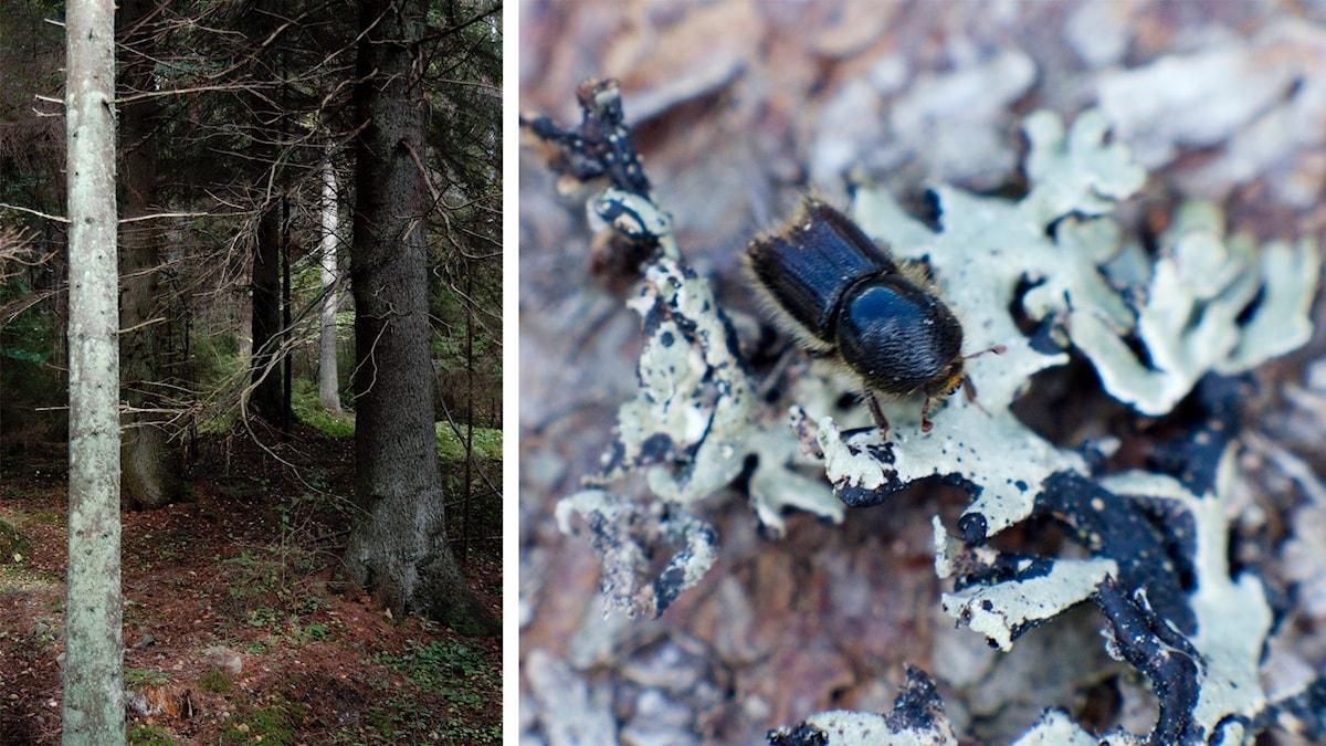 Till vänster en bild på granskog, till höger en bild på skalbaggen granbarkborre.