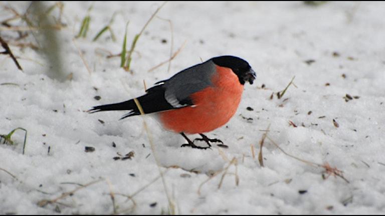 Domherren är en populär gäst vid fågelmatningen. Foto: Alf-Jan Hansson
