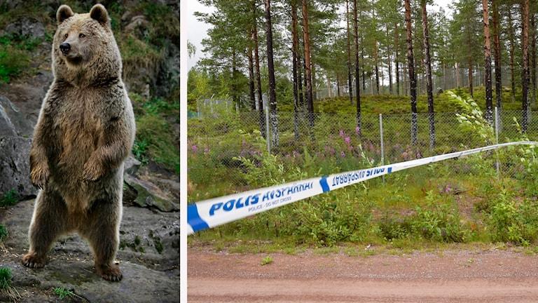 En brunbjörn och avspärrat område på rovdjursparken