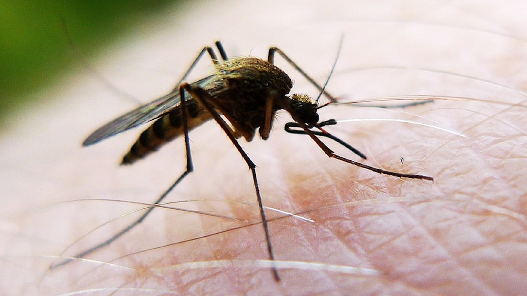 Myggor kan komma att besprutas bort även i år vid nedre Dalälven. Foto: Johan Nilsson / Scanpix.