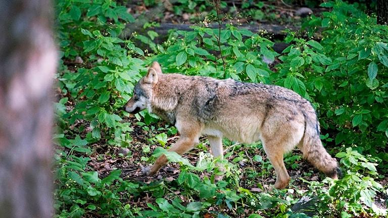 Den varg som vandrar i riktning mot renhjordarna i samelandet utanför Idre kan komma att skjutas om den rör sig närmare djuren. Foto: Jessica Gow / Scanpix.