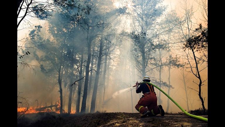 Brandman bekämpar en skogsbrand. Foto: Adam Ihse/Scanpix