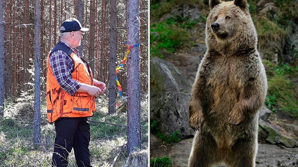 >Tvådelad bild. Tomas Sehlin sätter upp snitslar på träden på den ena bilden och på den andra en stor brunbjörn.