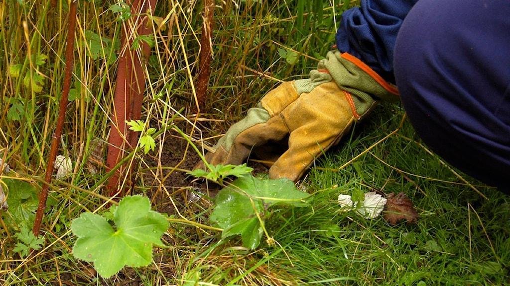 Anticimex hällde ett vitt bekämpningspuder i båda ingångarna till jordgetingboet. Foto: Sara From / Sveriges Radio