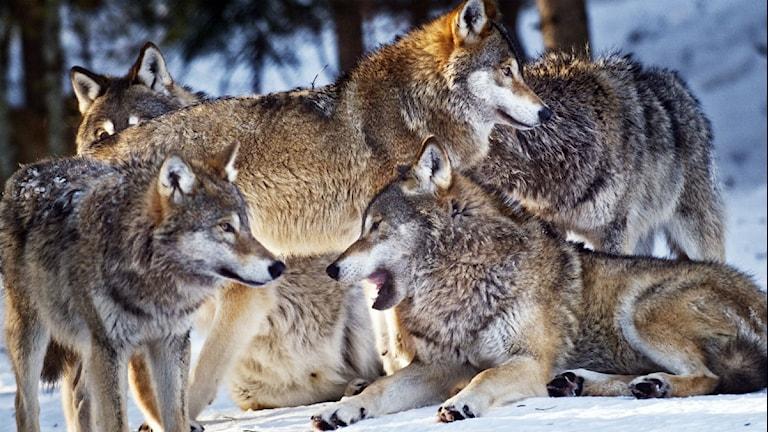 En flock vargar