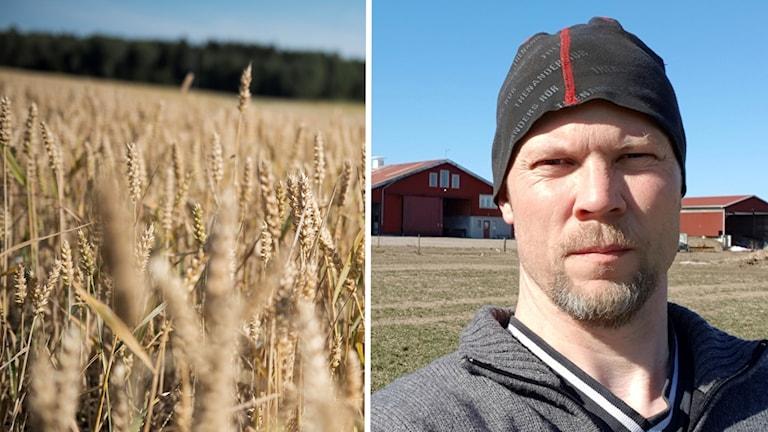 Ett fält med vete och lantbrukaren Joakim Borgs.