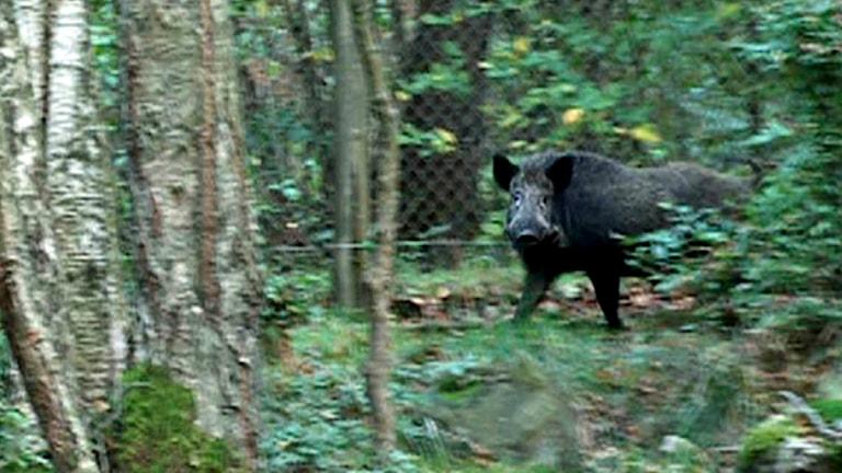 Vildsvin oroar i norra Dalarna