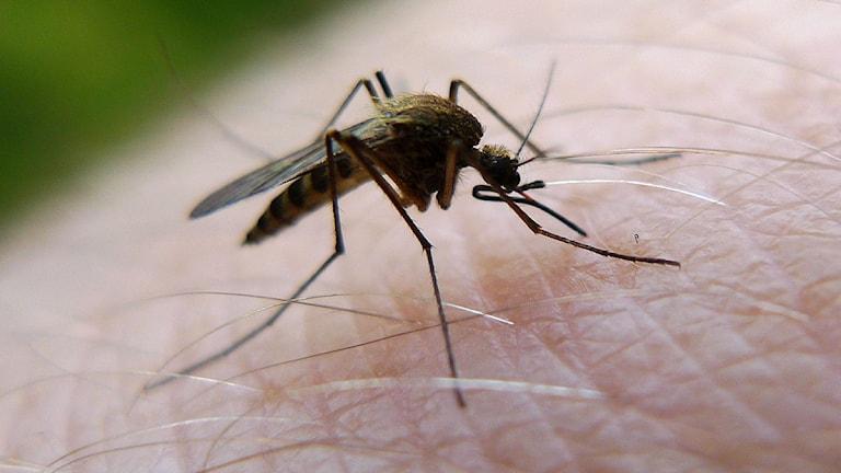 Mygga suger blod på hud.