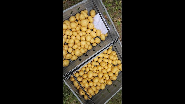 Efter flera år med dåliga väderförhållanden ser årets potatisskörd ut att bli riktigt bra. Men det har krävts hårt arbete för att nå dit, berättar Potatisodlarna Mikael Säfström och Ann Eriksson.