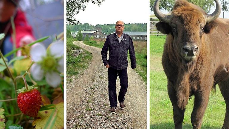 Bilden är tredelad och visar dels smultron, dels Mikael Westberg som går på en väg, dels en visent.