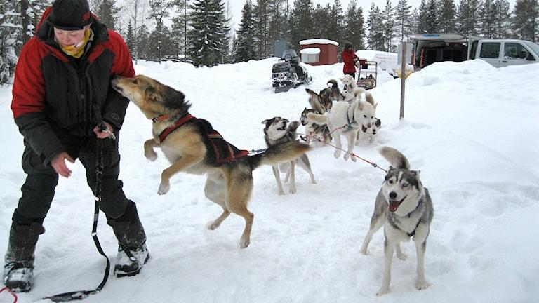 Malin Sundin med några av sina hundar.