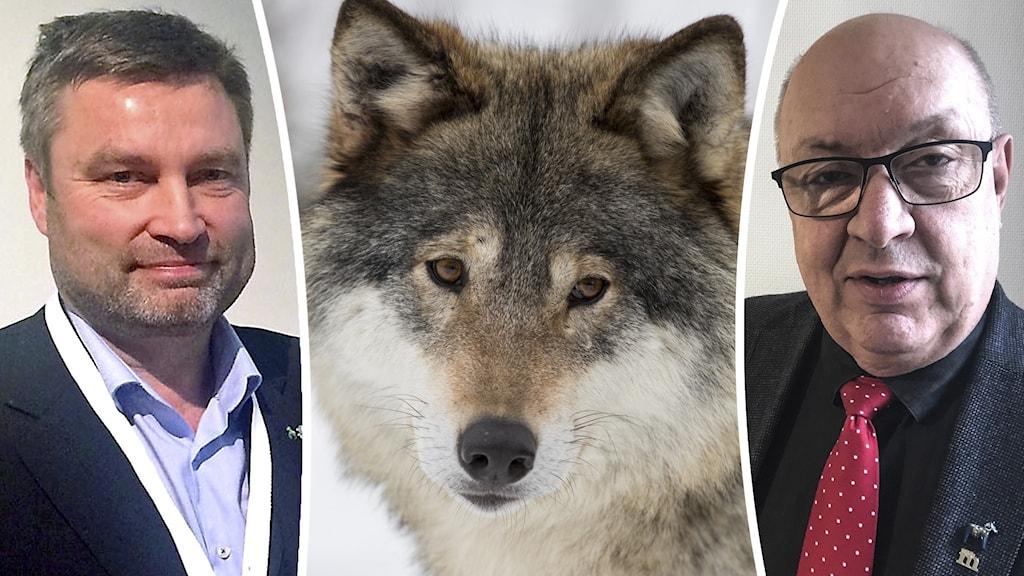 Peter Helander, en varg, och Ulf Berg.