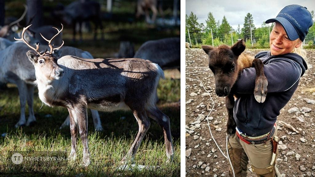 På det ena fotot syns en vuxen ren. På det andra står Jannie Staffansson med en renkalv.