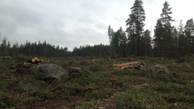 Skogen vid Slätta som huggits ned. Foto: Matilda Eriksson Rehnberg, Sverigesradio.