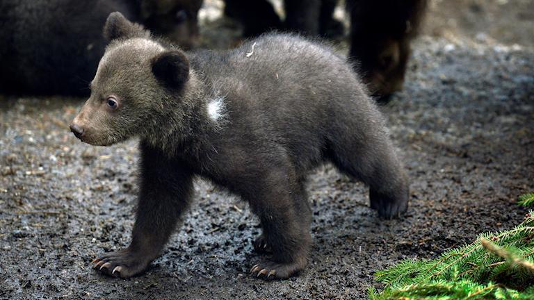 En björnunge som går.