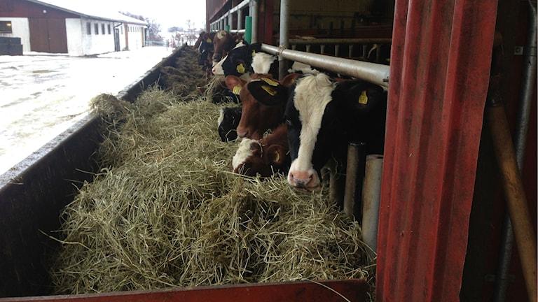 Blivande mjölkkor. Foto: Salam Abu-Iseifan