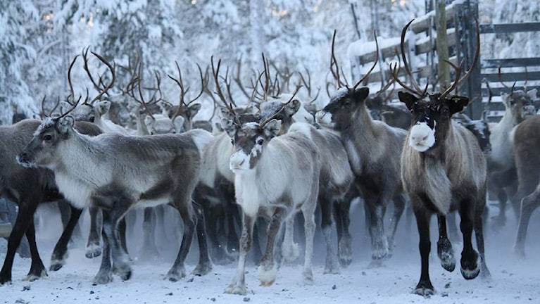 Renar i Idre sameby. Foto: Helena Andersson