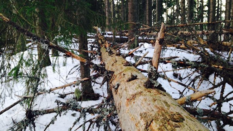 Ett träd som har fallit och som nu får ligga kvar. Foto: Anna Lindgren