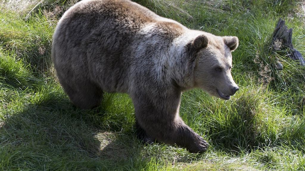 En brunbjörn går i gräset.