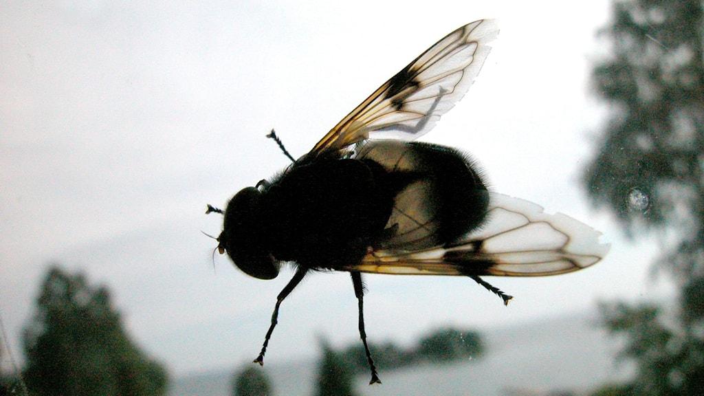 en fluga
