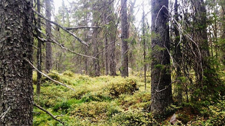 En naturskog.