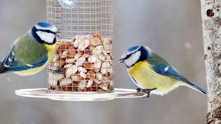 Två fåglar