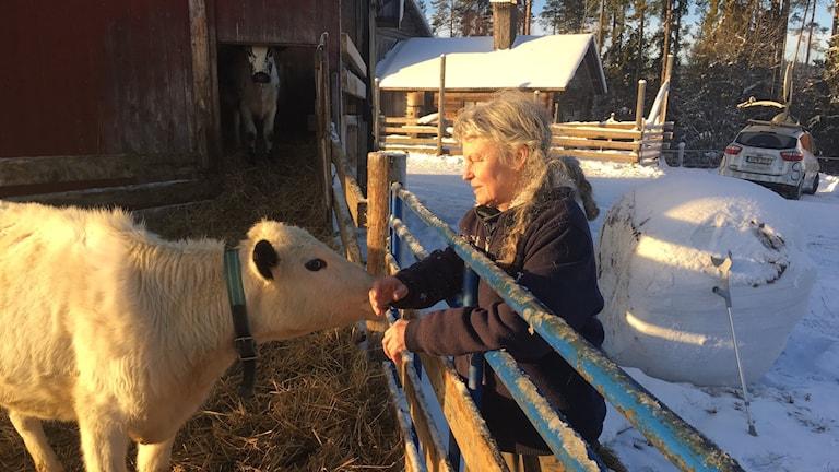 Eva Karlsson i Våmhus med en av sina 25 fjällkor. Foto Johan Thorén, P4 Dalarna