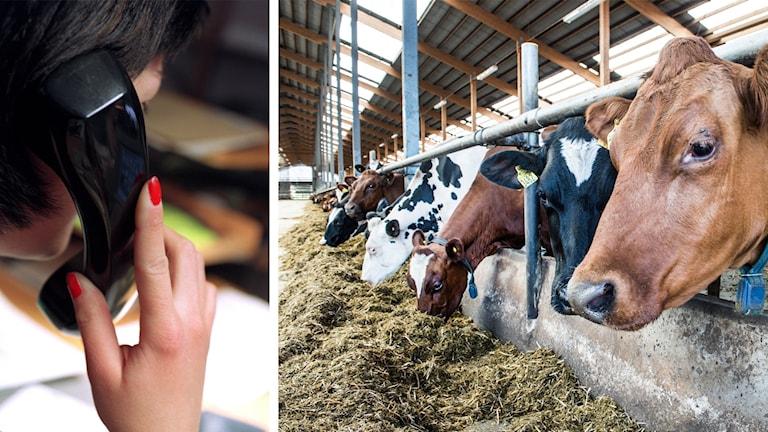 Bilden är ett montage av dels en bild på person som talar i telefon, dels en bild på kor i en ladugård.