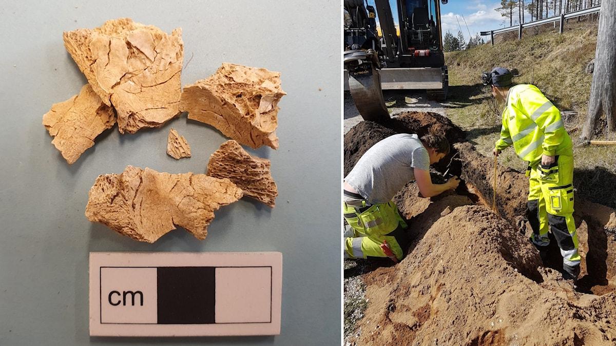 Kraniedelar från en människa ligger vid en skalstock i centimeter. Den andra bilden visar två personer som gräver i marken.