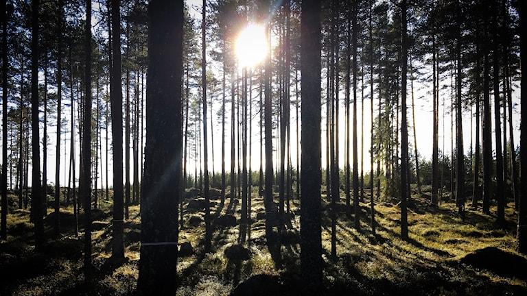 Tallskog invid ett kalhygge. Lilla Björnberget, Enviken.