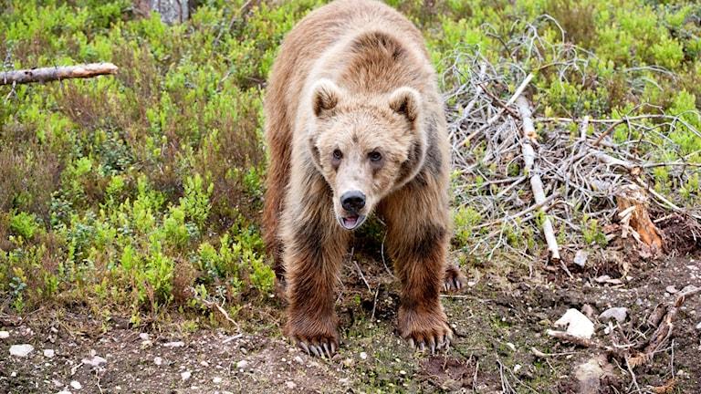 En kodiakbjörn.