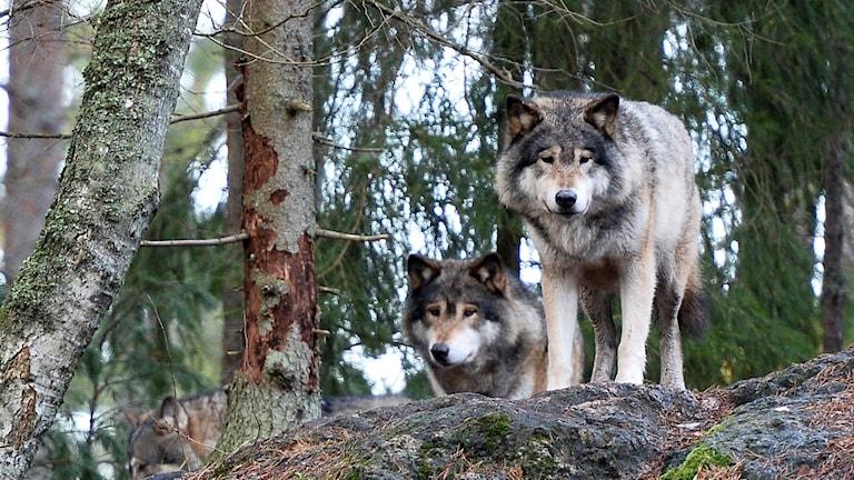 Två vargar i skogen.