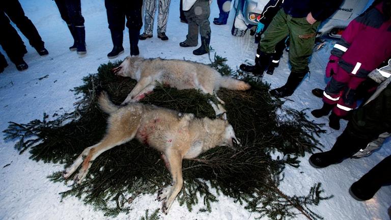 Människor står runt två dödade vargar som ligger på en bädd av granris.