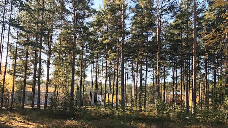Skog som behöver gallring.